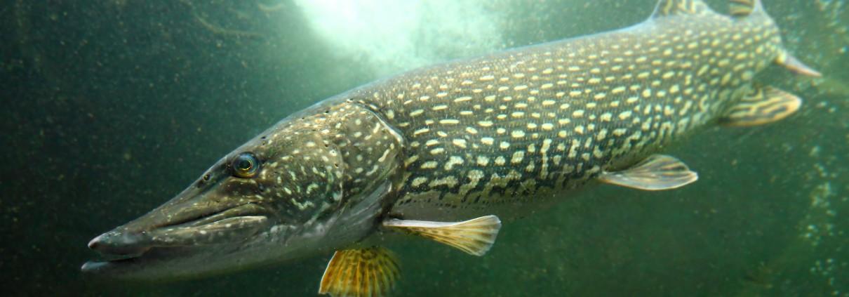 pêche brochet record